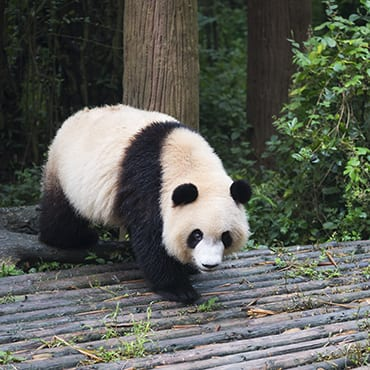 Chengdu – Dujiangyan Panda Base Day Tour (Panda Keeper)