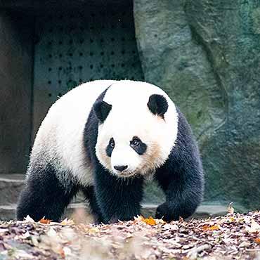 Xian + Chengdu 4N5D Panda Volunteer Tour